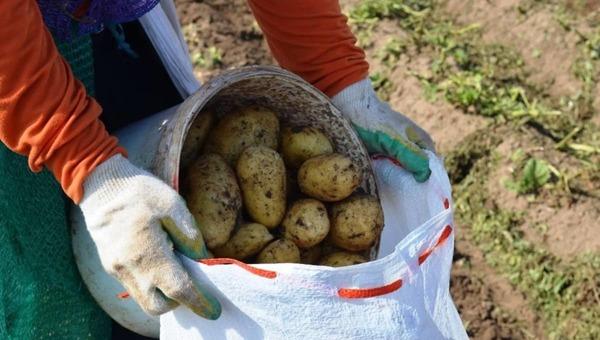 Когда лучше всего выкапывать картошку в Подмосковье?