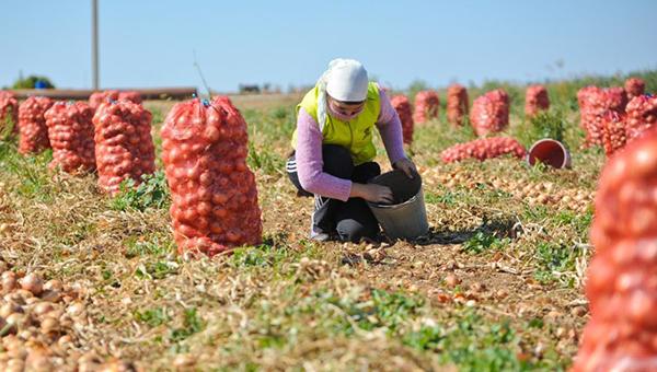 Серпуховский район вышел в лидеры по сбору овощей