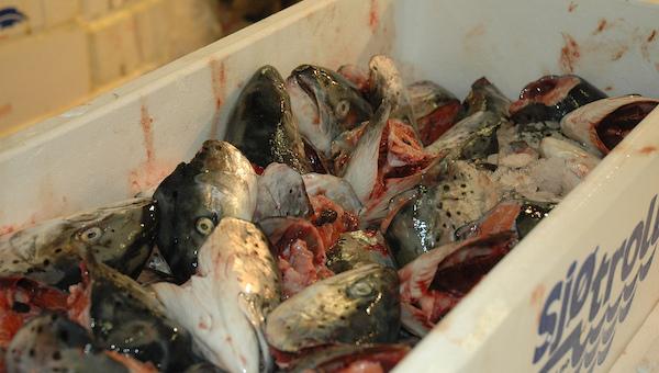 Отходы на рыбзаводе хранили вместе с готовой продукцией