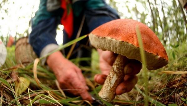 В Подмосковье будут ставить рекорд по сбору грибов
