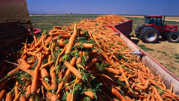 Непогода отразилась на объеме собранного под Серпуховом урожая овощей