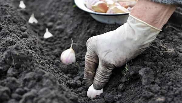 Когда сажать чеснок, чтобы вырос с кулак.