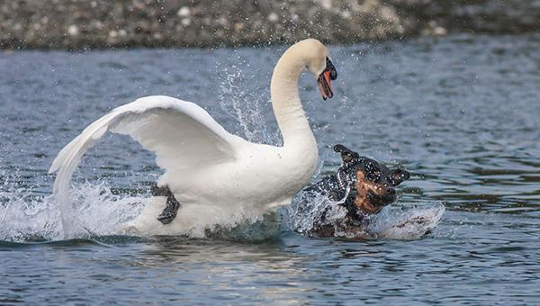 Хозяин натравил своего пса на редких лебедей