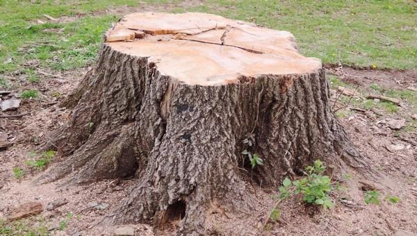 В подмосковном городе спилили уникальную «елку-рябину»