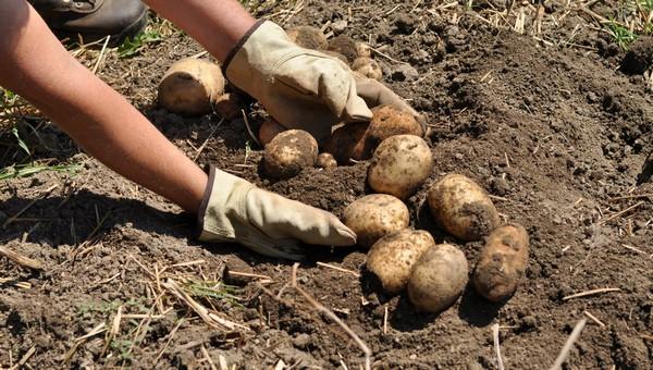 Теперь за посадку картошки в России могут оштрафовать