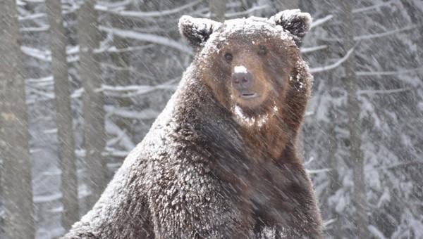 Что хотят сделать с медведем, который шатается под Москвой с прошлой недели?