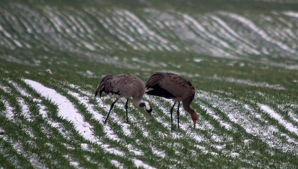 Орнитологов удивили журавли, оставшиеся зимовать в Подмосковье