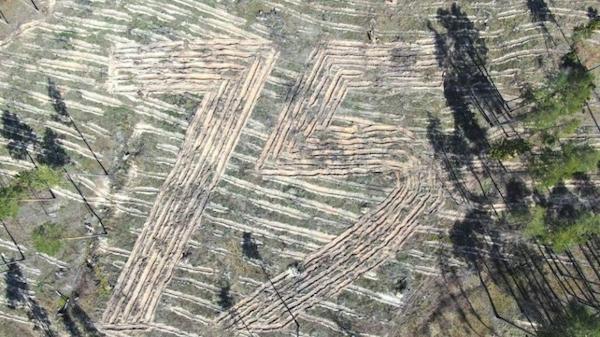 В Жуковском районе высадили четыре тысячи сосен в форме числа 75
