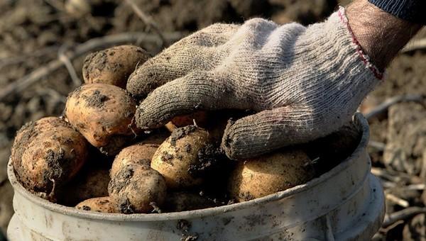 Наступают идеальные дни для уборки картофеля