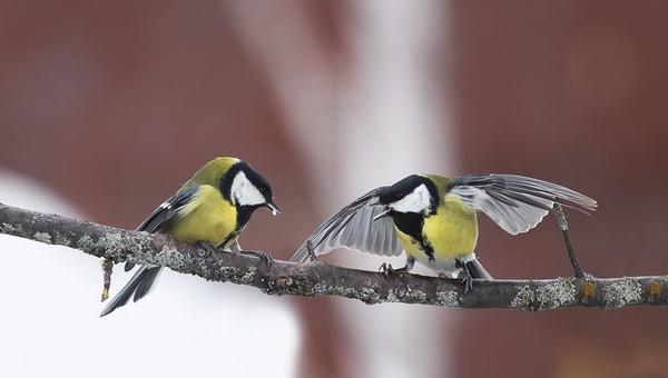 Орнитологи рассказали о склонности синиц к каннибализму