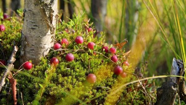 Ценнейшая ягода созрела в лесах Подмосковья