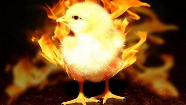 Восемь тысяч кур без документов сожгли на птицебафрике