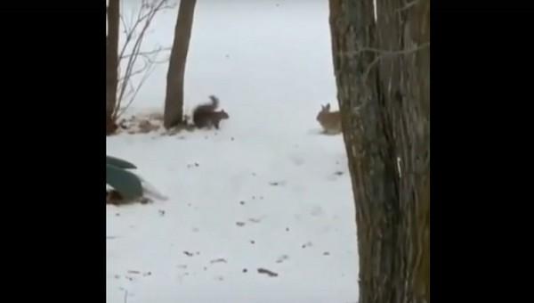 Необычные «танцы» белки и кролика засняли в столичном парке