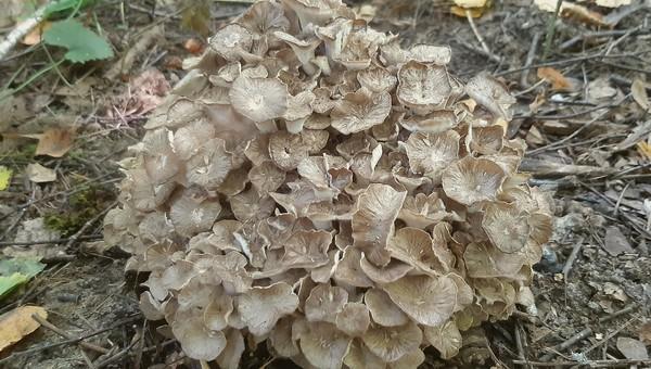 На территории музея-усадьбы «Ясная Поляна» нашли редкий гриб
