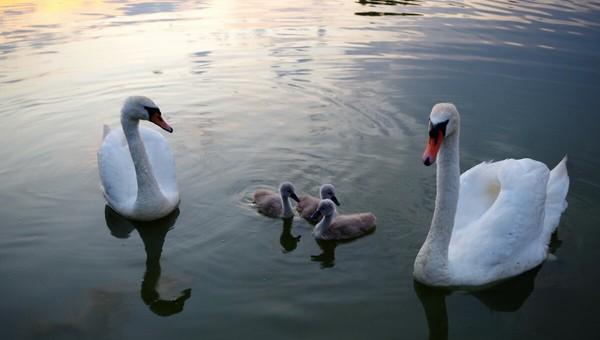 В Подмосковье начали массово прилетать лебеди-шипуны