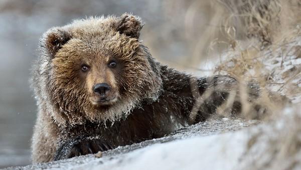 В Московской области видели опасного медведя-шатуна