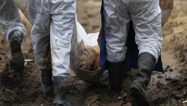 Африканская чума захватывает Калужскую область