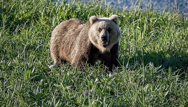 84-летняя женщина перерычала медведя