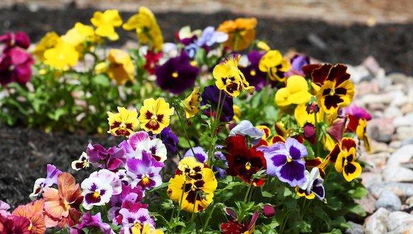 Около сорока тысяч цветов украсят Серпухов ко Дню Победы