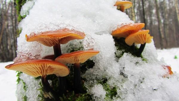 В Подмосковье грибники находят зимние опята