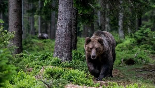 В Подмосковье бурые медведи и волки стали подбираться к населенным пунктам