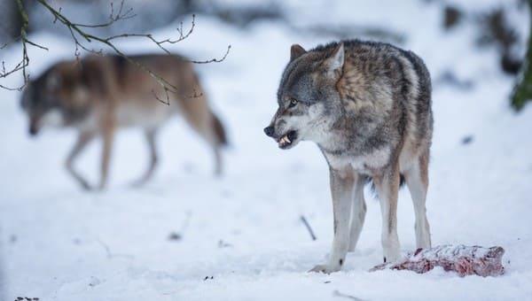 Жителей Подмосковья начали одолевать волки