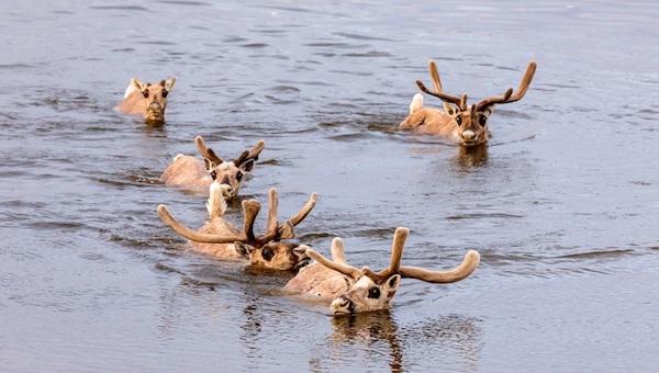 Трупы более тысячи оленей найдены в реке на севере России