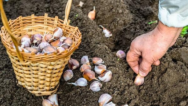 Как правильно посадить чеснок под зиму?
