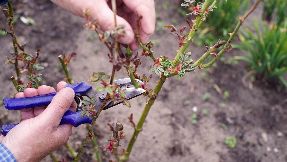 Как сохранить розы в саду?