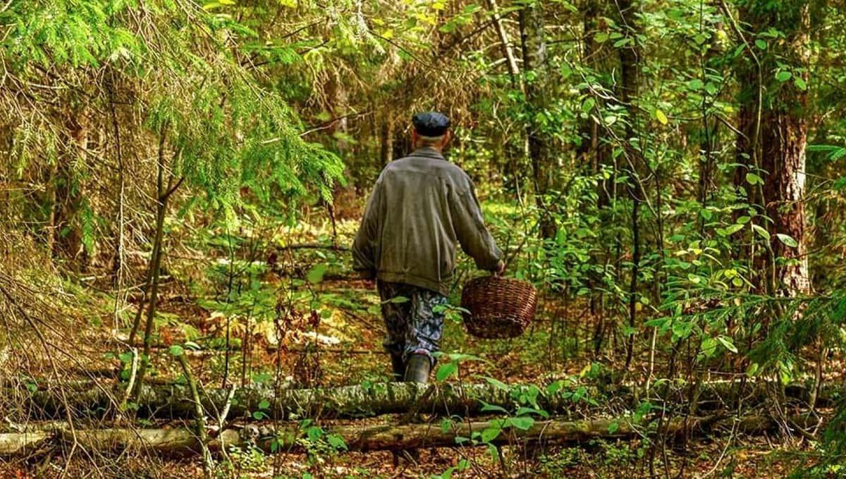 В подмосковных лесах находят гигантские грибы
