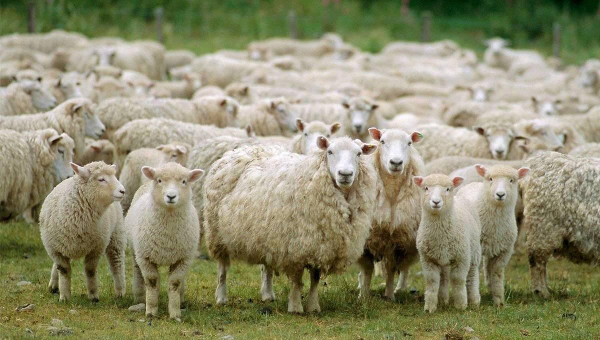 Впритык к Приокско-Террасному заповеднику могут построить гигантскую овцеферму