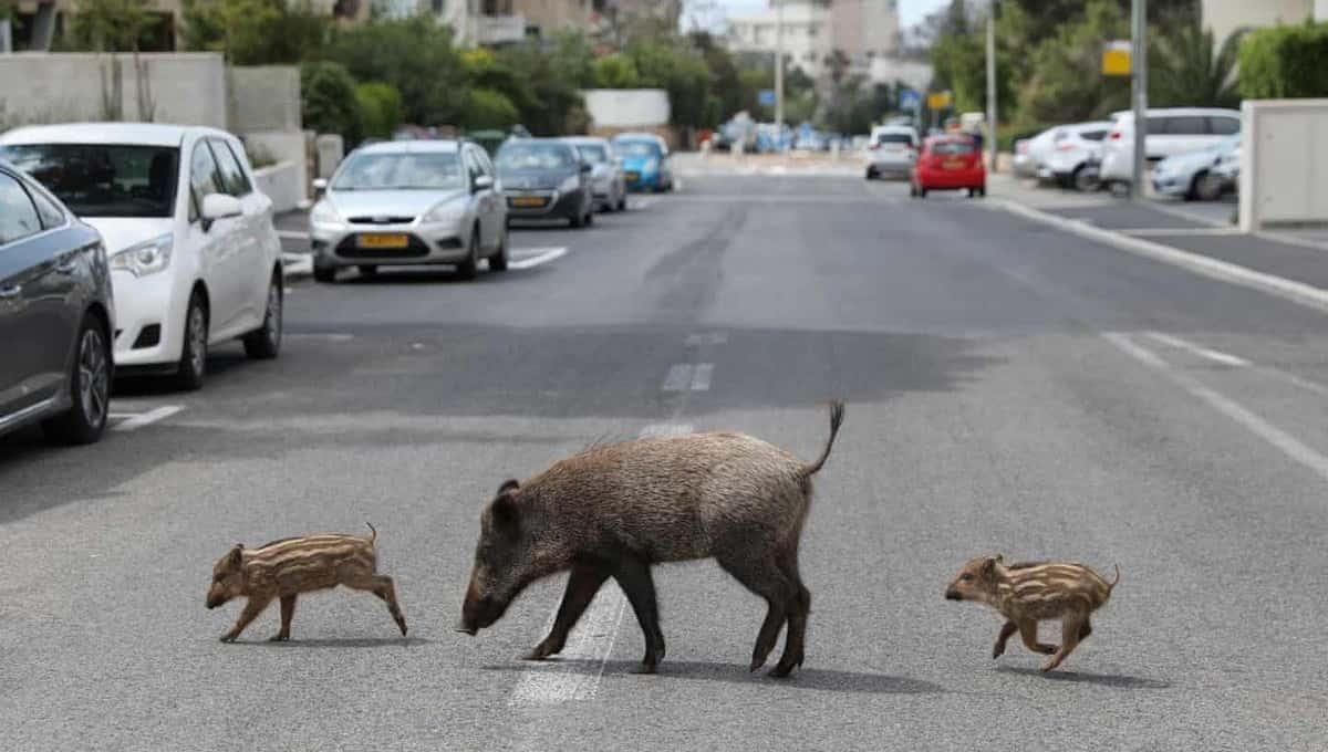 Израильский город заполонили кабаны. Способов избавиться от них нет