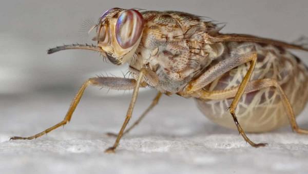 Двухлетнюю девочку из России укусила муха цеце