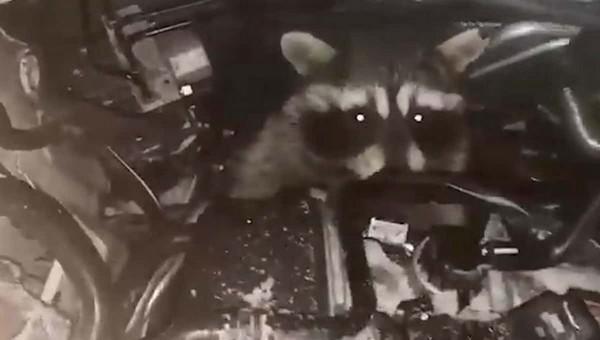 Водитель обнаружил под капотом «полосатый сюрприз»