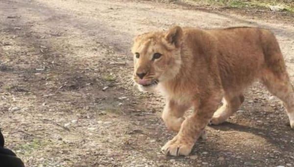 На девочку из Серпухова напала львица