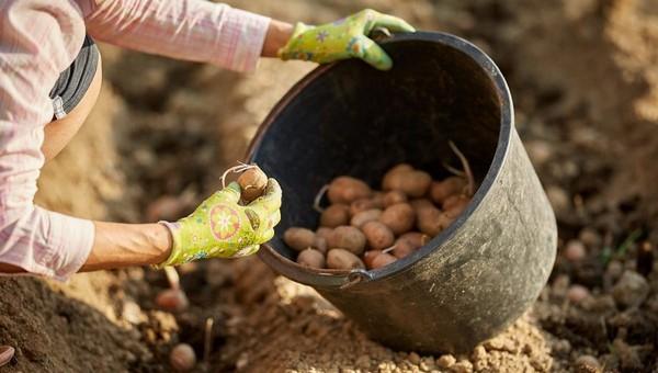 Не пропустите супер-дни для посадки картошки!