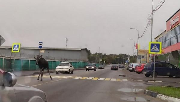 По Серпухову бегает испуганное дикое животное