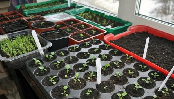 Что огороднику можно посадить в феврале?