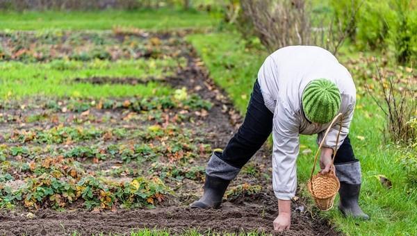 Что можно посадить в огороде прямо сейчас для раннего урожая?