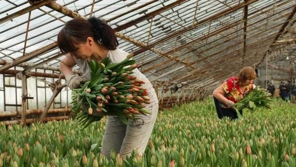 Сколько можно заработать на сборе тюльпанов к 8 Марта?