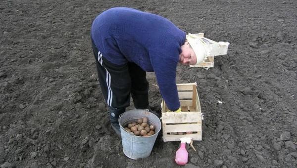 Впереди - два правильных дня для посадки картошки