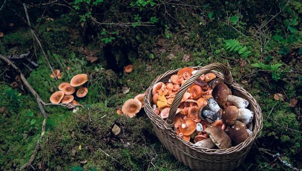 Остались ли грибы в лесах Подмосковья?