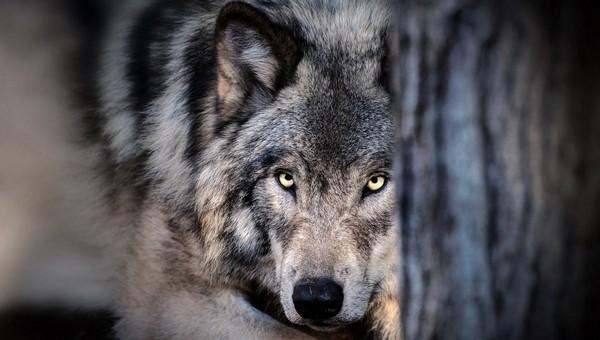 В Подмосковье волки стали рыскать у жилых домов