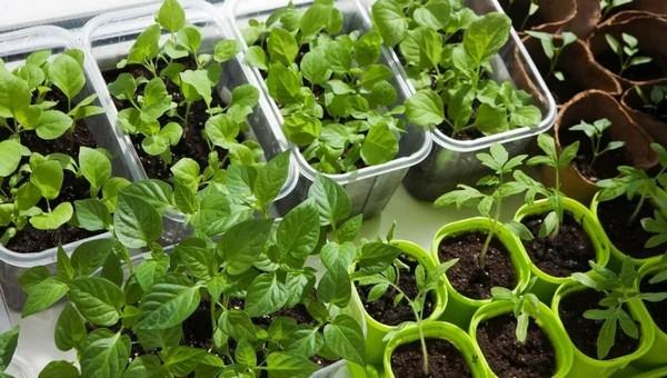 Готовим семена и ящички! Что можно посадить в начале марта?