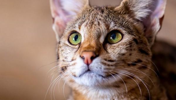 Сколько стоит самый дорогой котенок в России