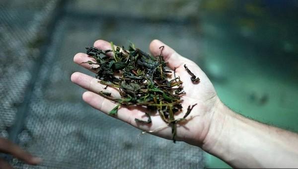 Чай из российских интернет-магазинов оказался марихуаной