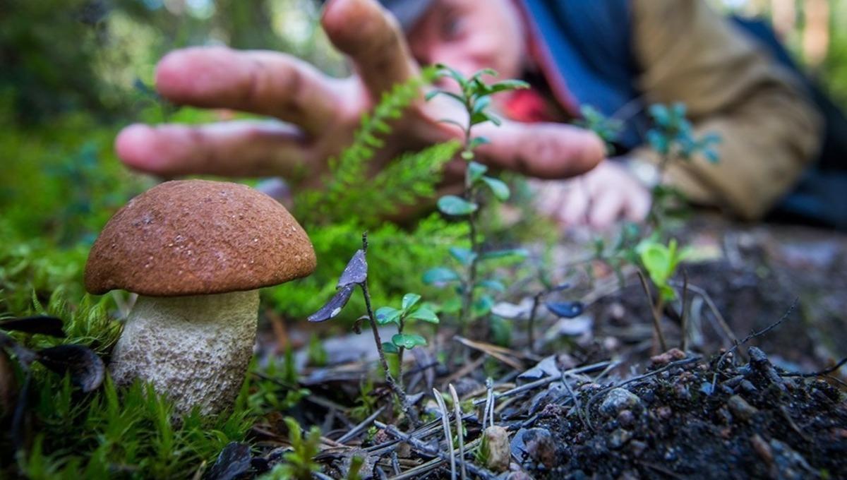 Пошли ли грибы в лесах Подмосковья?