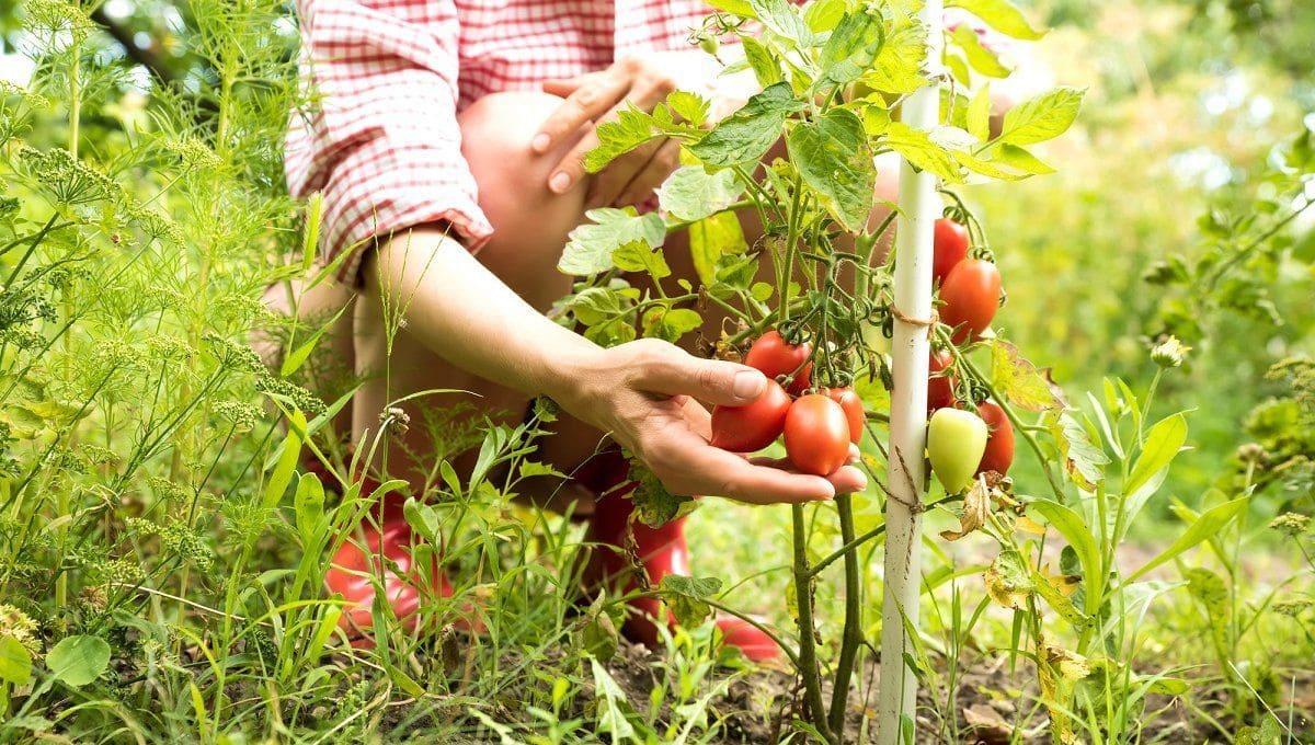 Как в августе заставить покраснеть помидоры на грядке
