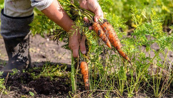 Ни в коем случае не выкапывайте морковь