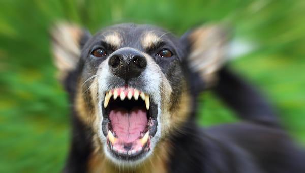 Стая диких собак набросилась на сына прокурора
